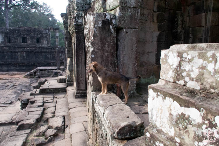 Angkor Wat Bayon More Dog