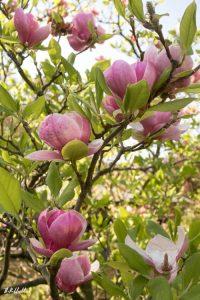 Setagaya Park Magnolia