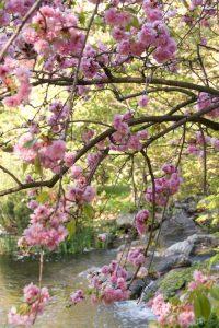 Setagaya Park Sculpture Cherry Blossoms Creek