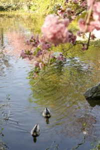 Setagaya Park Sculpture Cherry Blossoms Duck