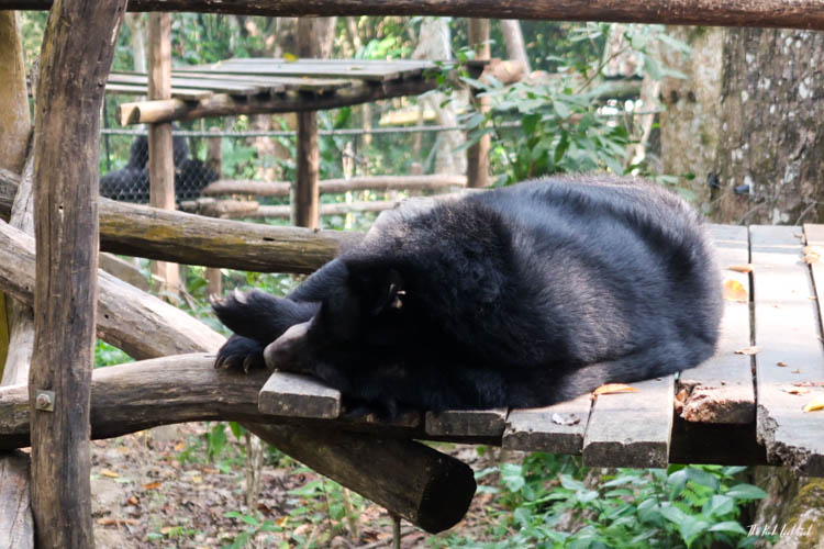 Luang Prabang Ultimate Guide Bear Sanctuary
