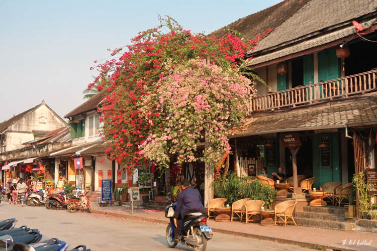 Luang Prabang Ultimate Guide Main Road Pink Tree