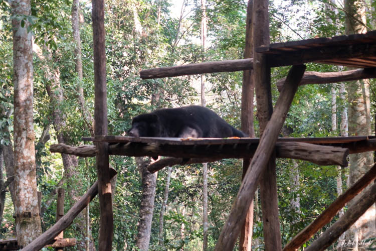 Luang Prabang Kuang Si Waterfall Bear Reserve Sleeping Bear 1