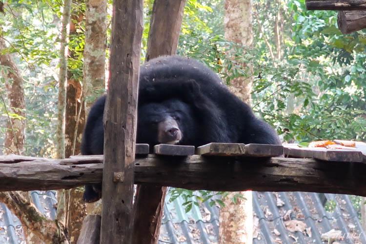 Luang Prabang Kuang Si Waterfall Bear Reserve Sleeping Bear 3