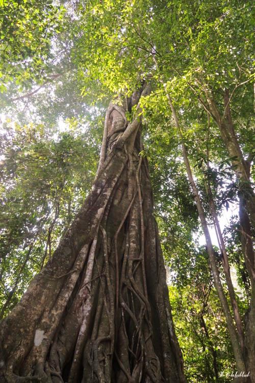 Luang Prabang Kuang Si Waterfall Bear Reserve Tree